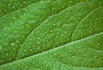 Green leaf, macro