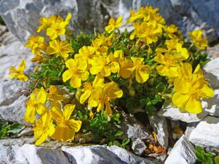 Triglav Mountain flowers