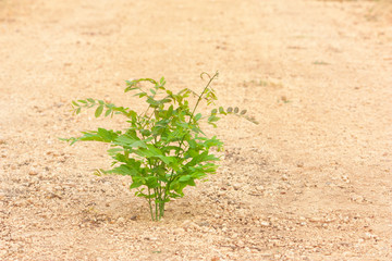 Young hog-plum tree growth on gravel laterite ground