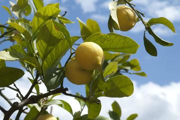 Zitronen, Citrus limon;