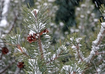 pine green during the snowstorm