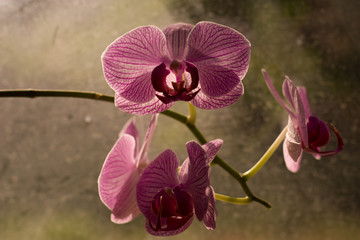Macro shot of pretty violet orchid on the window