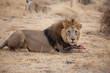 Leone maschio in Namibia