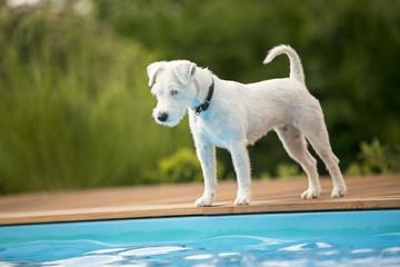 Hund wartet am Rande des Swimmingpools