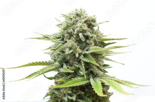 Fotobehang Planten Cannabis plant isolated on white