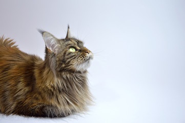 Cat Maine Coon with long tassels on the ears
