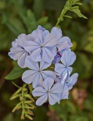 light blue jasmine flowers natural bouquet closeup
