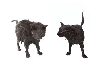 Cute black soggy cat after a bath, funny little demon