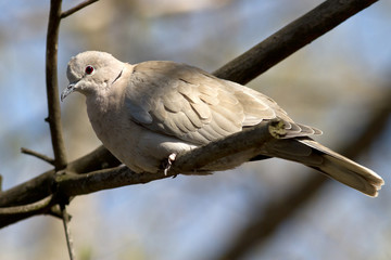 Collared Dove that sits on a branch on a sunny afternoon