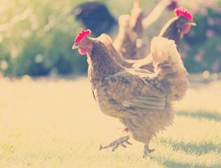 Chickens Instagram Style