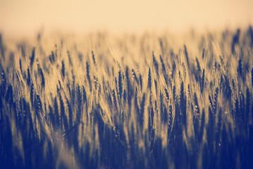 Grain Fields Instagram Style