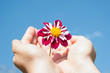 Dahlia flower in hands on blue sky background