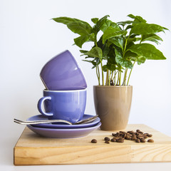 Blue coffee cups, coffee tree and fried coffee grains
