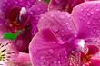 canvas print picture - Purple orchid flowers
