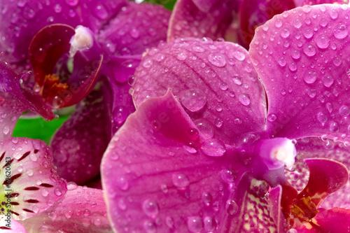 canvas print picture Purple orchid flowers