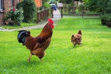 Hahn und Henne auf der Wiese