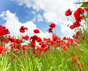 Red poppy flowers from bellow