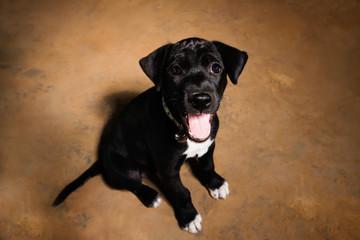 Cute black little puppy portrait, Happy Puppy