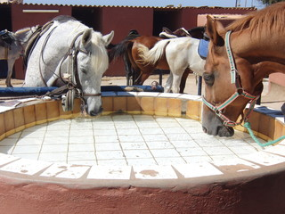 Two barb horses drinking in a trough