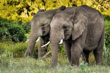 Junge Elefanten