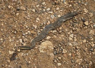 snake skin on road
