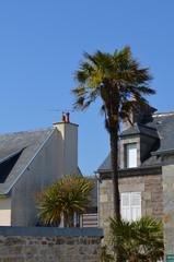 Palmier en Normandie