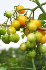 pomodori gialli su ramo_ orto