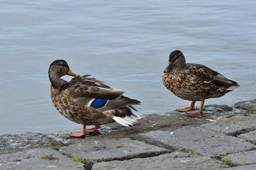 Две утки на берегу озера