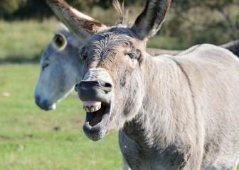 Zähne der Esel