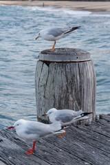 Möven im Wind - Manly Beach, Sydney