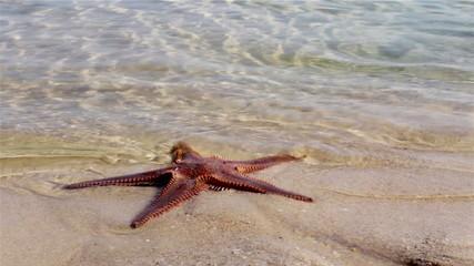 Starfish at the beach in Ria Formosa wetlands. Algarve