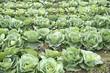 Cabbage field closeup