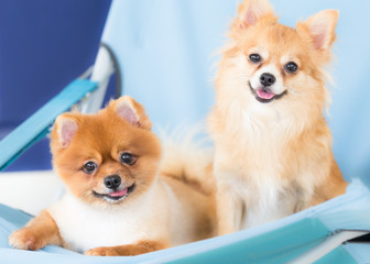 Young Brown Pomeranian and chihuahua
