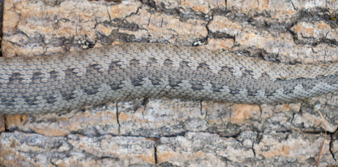 Viper snake, Vipera latastei
