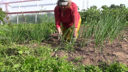 zoom out of woman weed onion bed with hoe in vegetable garden