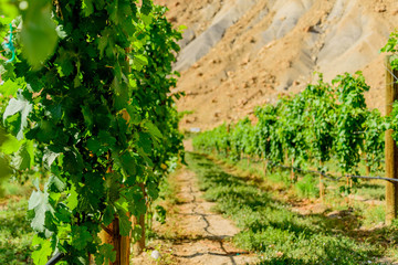 green wine grapes ripening on the vine