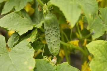 Growing cucumber and its flower on a bed