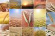 Collage - Brot und Korn