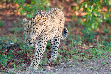 Large male leopard busy marking his territory on tree