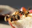 Wasp eating sweet fruit