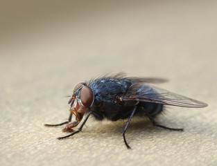 Housefly macro closeup