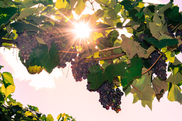 cluster of red grape and sunshine