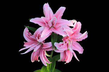 Розовые лилии на черном фоне
