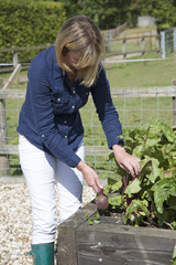 Woman harvesting vegetables from a raised bed Beetroot