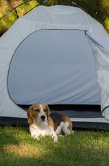 Camping Beagle