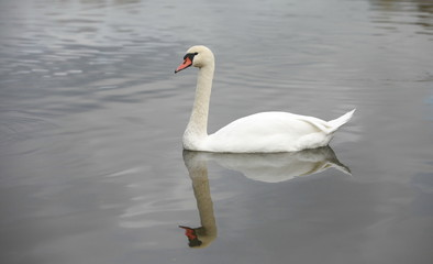 swan mirror reflection