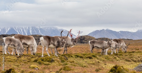 Foto op Canvas Poolcirkel Herd of wild reindeers