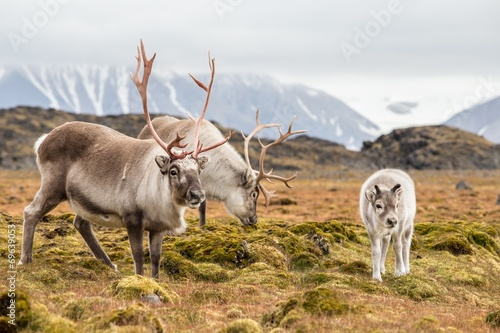 Foto op Canvas Poolcirkel WIld reindeer family