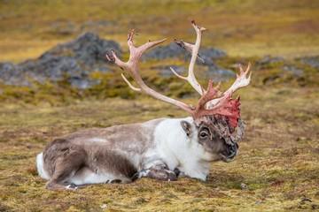 Wild reindeer in Arctic tundra