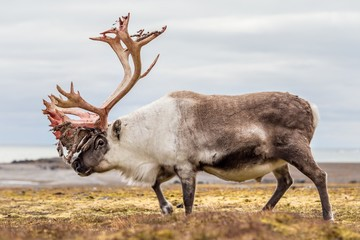 Old, big Arctic reindeer preparing to shed his antlers.